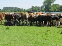 Cow squad